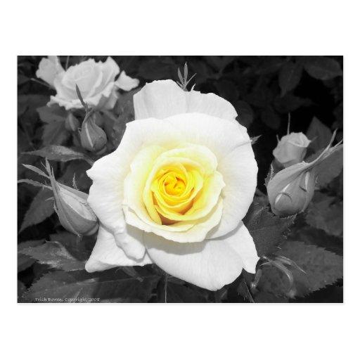 Color de rosa blanco y negro con focal amarillo postal