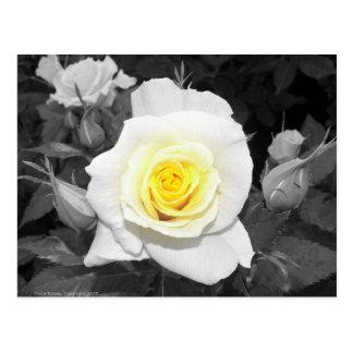 Color de rosa blanco y negro con focal amarillo tarjetas postales