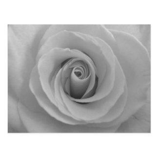 Color de rosa blanco y negro tarjetas postales