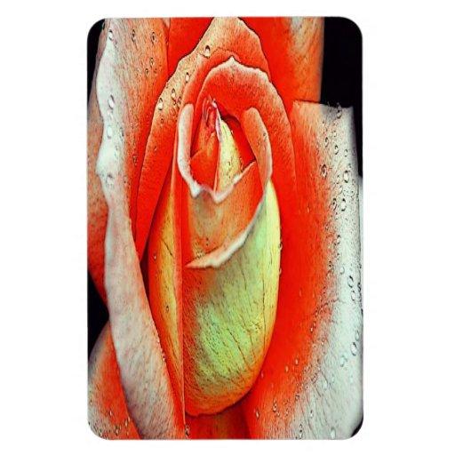 Color de rosa coralino iman