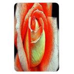 Color de rosa coralino iman de vinilo