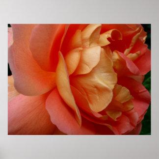 Color de rosa coralino póster