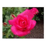 Color de rosa de color rosa oscuro postales