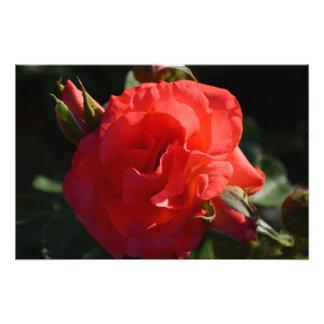 Color de rosa de color salmón en la impresión de l fotografias