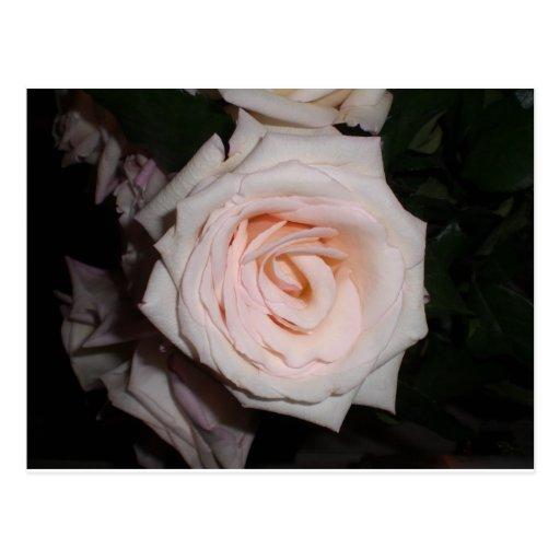 Color de rosa delicado postales