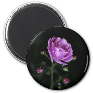 Color de rosa dramático imán de frigorifico