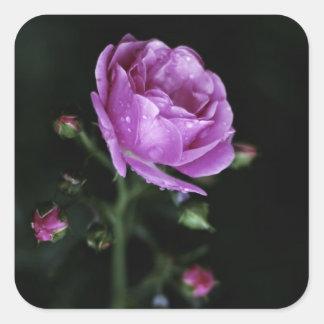 Color de rosa dramático pegatina cuadrada