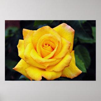 Color de rosa grandiflora de la medalla de oro, fl impresiones