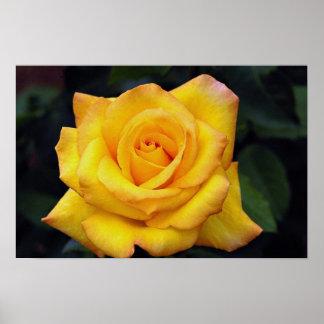 Color de rosa grandiflora hermoso de la medalla de impresiones