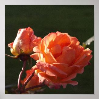 Color de rosa hermoso poster