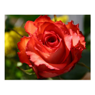 Color de rosa italiano postal