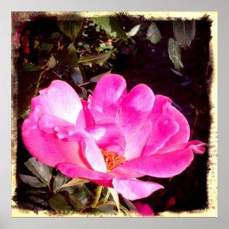 Color de rosa Knockout Póster