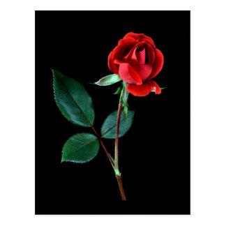 Color de rosa Knockout rojo Postal