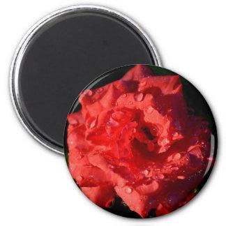 Color de rosa miniatura rojo con el imán de las go