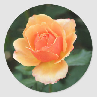Color de rosa moderno anaranjado cremoso pegatina redonda