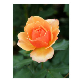 Color de rosa moderno anaranjado cremoso tarjeta postal