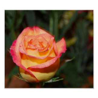 Color de rosa multicolor póster