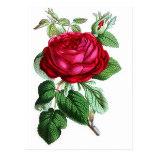 Color de rosa perpetuo híbrido, señor Napier Tarjetas Postales