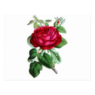 Color de rosa perpetuo híbrido, señor Napier Postal