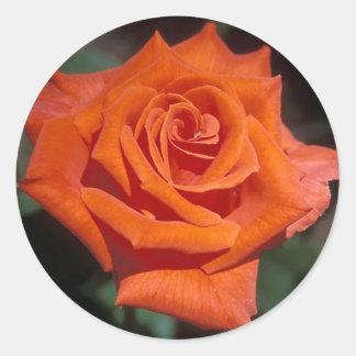Color de rosa prominente pegatinas