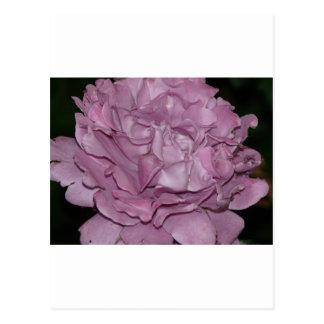 color de rosa púrpura 2 postal