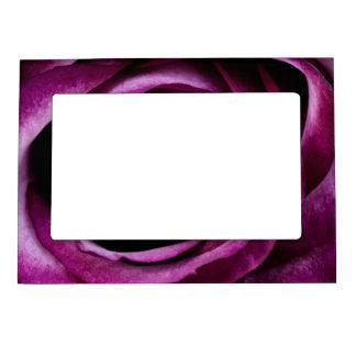 Color de rosa púrpura marcos magnéticos para fotos