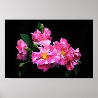 Color de rosa rayado póster