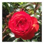 Color de rosa rojo oscuro invitación 13,3 cm x 13,3cm