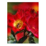 Color de rosa romántico y significado postales