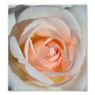 Color de rosa rosa claro fotografías