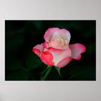 Color de rosa Rosado-Blanco Póster