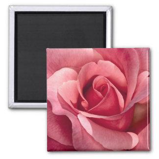 Color de rosa rosado bonito imán cuadrado