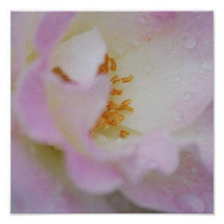 Color de rosa rosado bonito impresiones