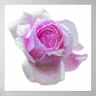 Color de rosa rosado bonito posters