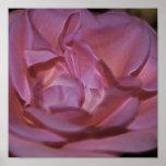 Color de rosa rosado bonito y significado posters