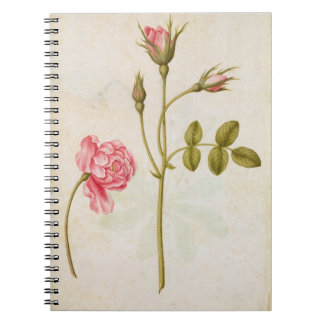 Color de rosa rosado, c.1568 libreta