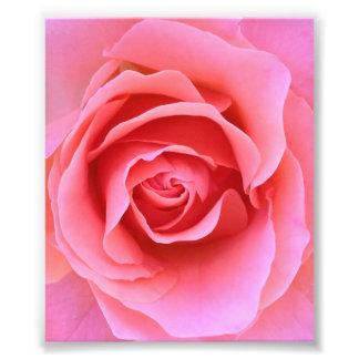 Color de rosa rosado cojinete
