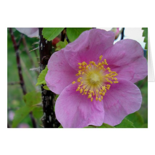 Color de rosa rosado de Alberta (tarjeta en blanco