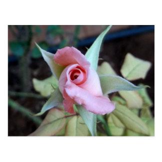 Color de rosa rosado de la postal
