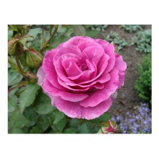 Color de rosa rosado del amor tarjeta postal