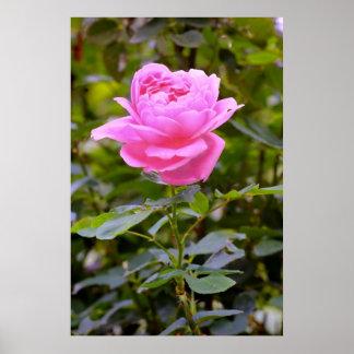 Color de rosa rosado en jardín póster
