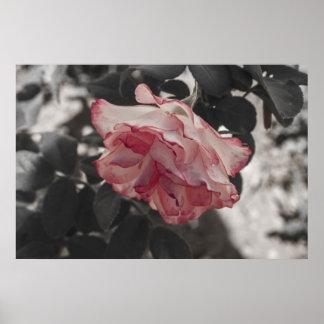 Color de rosa rosado en la foto blanco y negro del impresiones