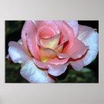 Color de rosa rosado en la impresión de la lona posters