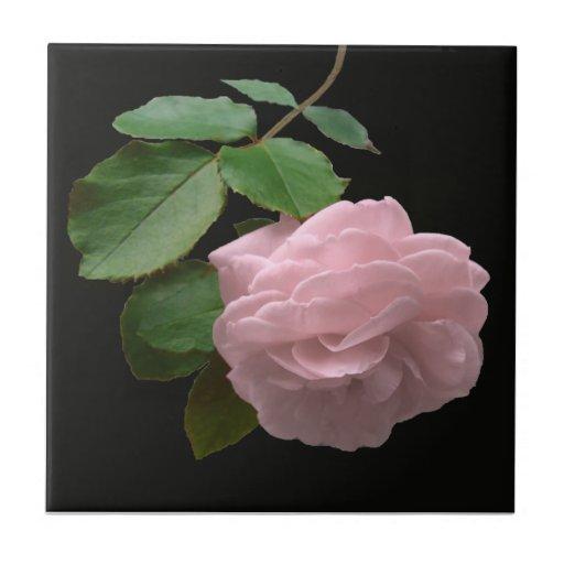 Color de rosa rosado en la plena floración azulejo cerámica
