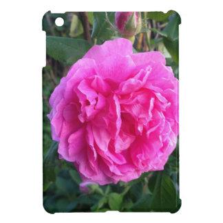 Color de rosa rosado