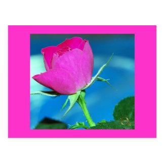 Color de rosa rosado miniatura tarjeta postal