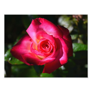Color de rosa rosado oscuro cojinete