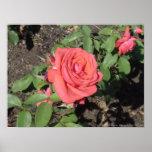 Color de rosa rosado oscuro impresiones