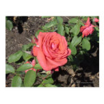 Color de rosa rosado oscuro tarjetas postales