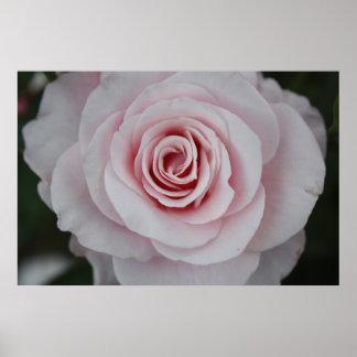 Color de rosa rosado poster